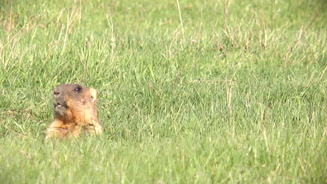 Whistling  marmot in the hole