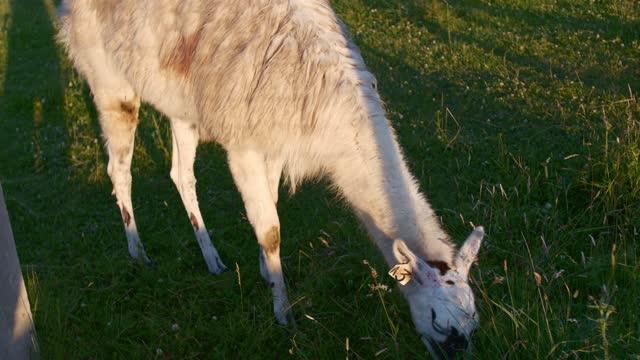 White Alpaca eating outdoors in summer. Alpaca Farm. Lamas.