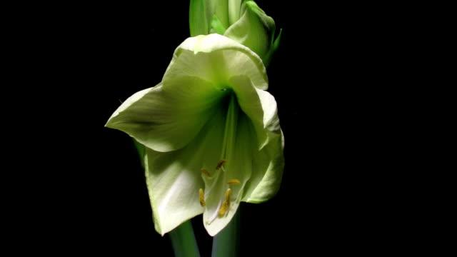 white amaryllis flower time-lapse - amaryllis bildbanksvideor och videomaterial från bakom kulisserna