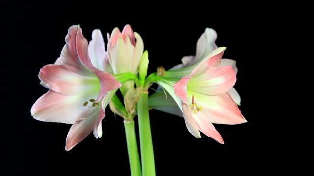 white amaryllis - amaryllis bildbanksvideor och videomaterial från bakom kulisserna
