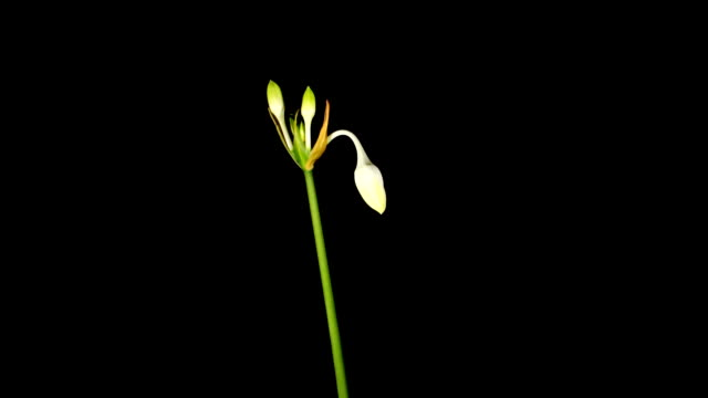 white Amazon lily flower video