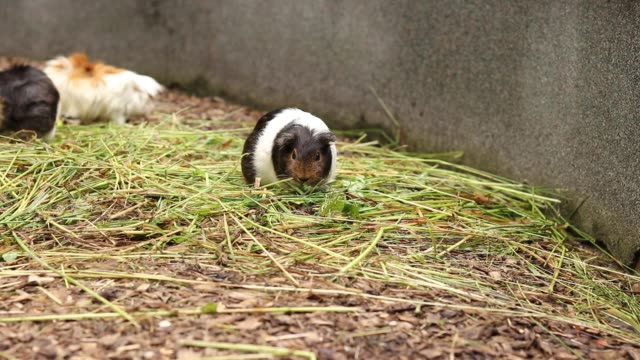 White and black Cavia porcellus has a snack in the form of a juicy blade of grass. The pet is having lunch. Domestic cavy eats wild grass