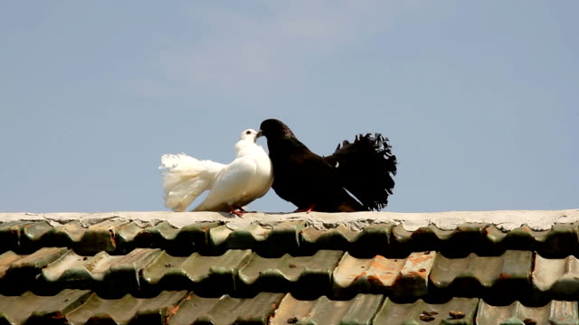 White and black doves are cooing on roof of  house. Doves - symbol of peace