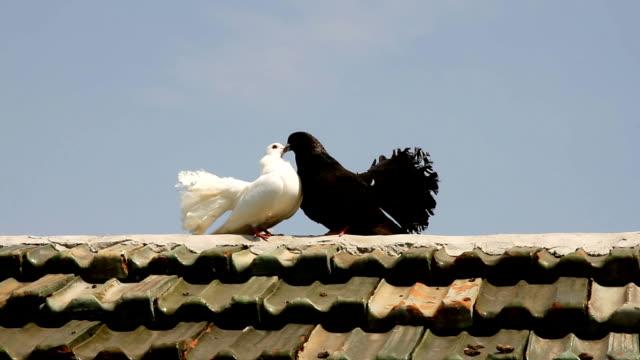 白と黒の鳩は、家の屋根の上クークーです。-平和の象徴の鳩 - 動物の行動点の映像素材/bロール