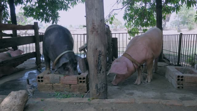 White and black pigs inside a pen eating out of troughs made with bricks ( close up ) video