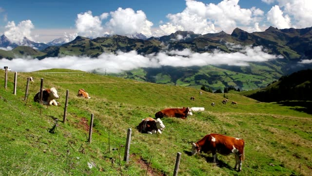 White and brown cows in the mountain video