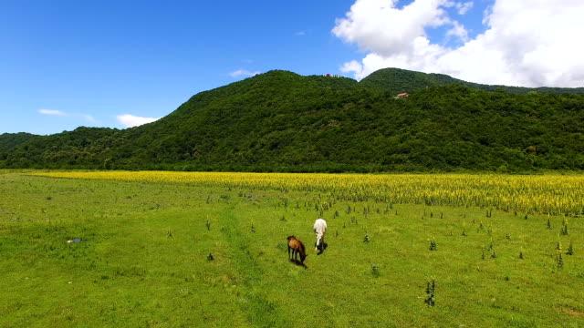 stockvideo's en b-roll-footage met witte en bruine paarden eten vers groen gras in vallei, landbouw luchtfoto - vachtpatroon