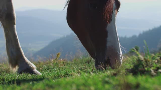 white and brown piebald horse pony grazing green grass slow motion - grzywa filmów i materiałów b-roll