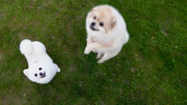 vídeos de stock e filmes b-roll de white and cream pomeranian spitz on the green grass. jumping upwards and barking. begging for the food. - fofo texturizado