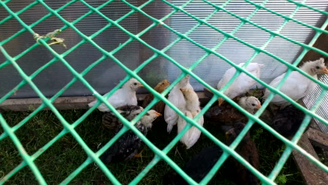 White and gray chicks walking the paddock. A small corral made of mesh. video