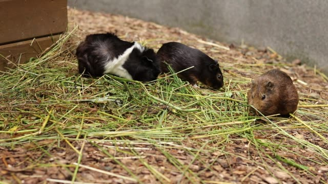 White and one brown domestic guinea pig or cavy looking for the best grass for their stomach. Cavia porcellus lunch time. Eternally hungry pets