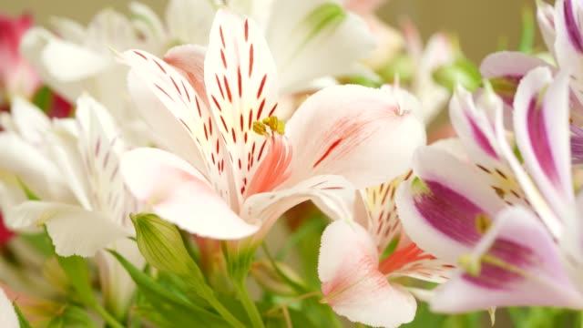 white and pink beautiful lily flowers - lilia filmów i materiałów b-roll