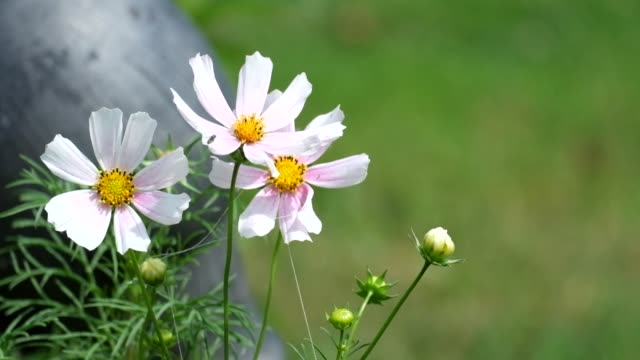 White and pink cosmos flowers fluctuate from the wind (Cosmos bipinnatus) video