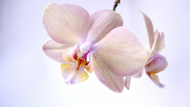 white and pink orchid flower turns isolated