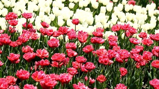 白とピンクのチューリップが咲いた - キューケンホフ公園点の映像素材/bロール