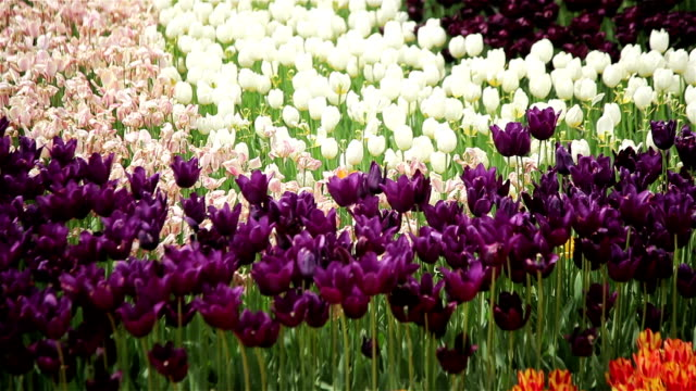 White and purple tulips video
