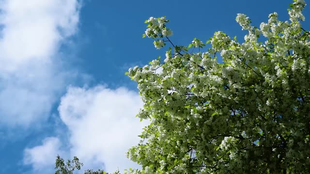 white apple blossoms on branches with green leaves on the background of blue sky with clouds swaying wind , beautiful natural background - цветение яблони стоковые видео и кадры b-roll
