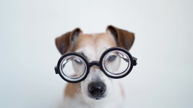 White background isolated nerd dog Jack Russell terrier in glasses looking to the camera. - video