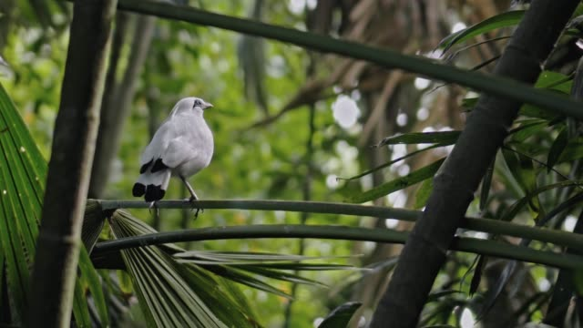 White Balinese squash sits on a branch