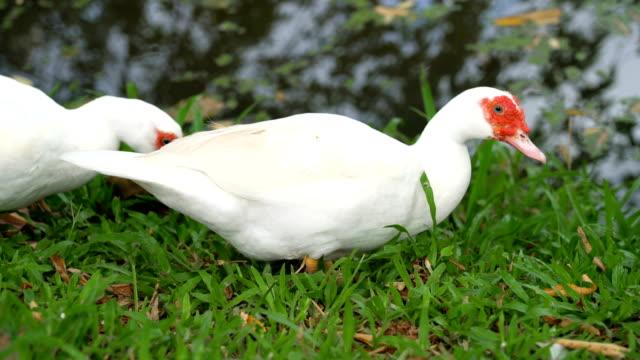 white barbary ducks walking pass camera. - утка водоплавающая птица стоковые видео и кадры b-roll