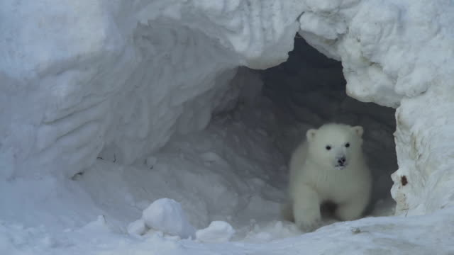 A white bear cub goes out from a lair A white bear cub goes out from a lair bear stock videos & royalty-free footage