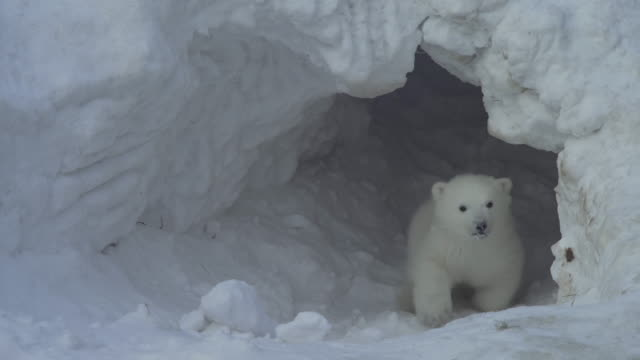 a white bear cub goes out from a lair (flat) - bear stock videos and b-roll footage
