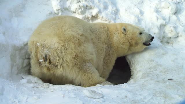 A white bear digs a lair A white bear digs a lair polar climate stock videos & royalty-free footage