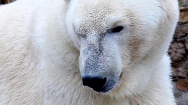 White bear. Polar bear in a zoo. bear stock videos & royalty-free footage