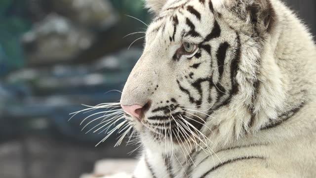 ホワイト bengal tiger 顔のクローズアップ ビデオ