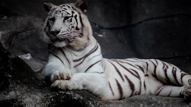 ホワイト bengal tiger 、横になって、リラックスして、崖の上の眺め ビデオ