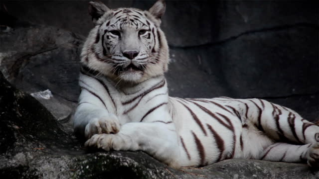 White bengal tiger, lying, relax, and watching on cliff video