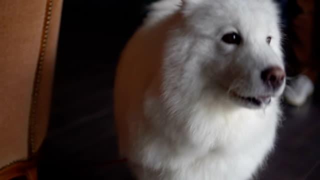 White big, fluffy pedigree dog barking at home White big, fluffy pedigree dog barking at home. hound stock videos & royalty-free footage