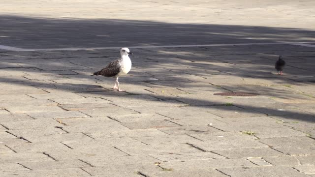 White big Seagull in the square in the city looking for food