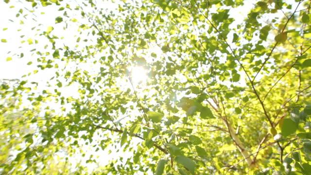 vídeos de stock, filmes e b-roll de folhas de bétula branco - bétula