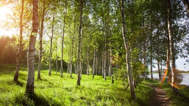 vídeos de stock, filmes e b-roll de vidoeiro branco árvores da floresta no verão. - bétula