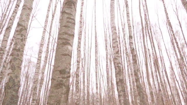 White Birch trees video