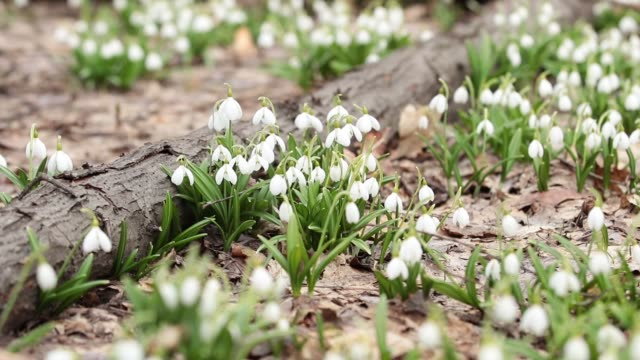White blooming snowdrop folded or Galanthus plicatus in the forest video