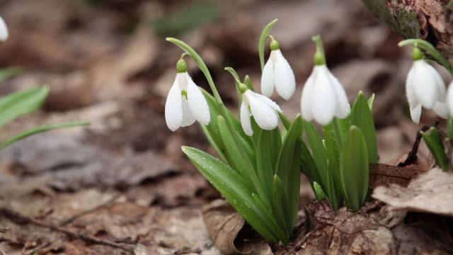 White blooming snowdrop folded or Galanthus plicatus with water drops video