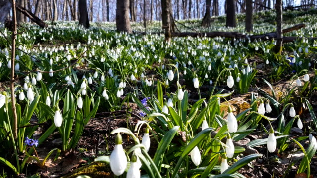 White blooming snowdrop folded or Galanthus plicatus with water drops in light breeze. video