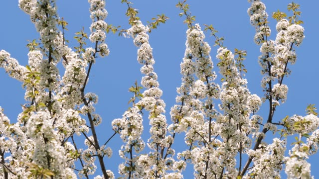 White Blossom Apple Tree Branches Swaying In The Wind In A Park video