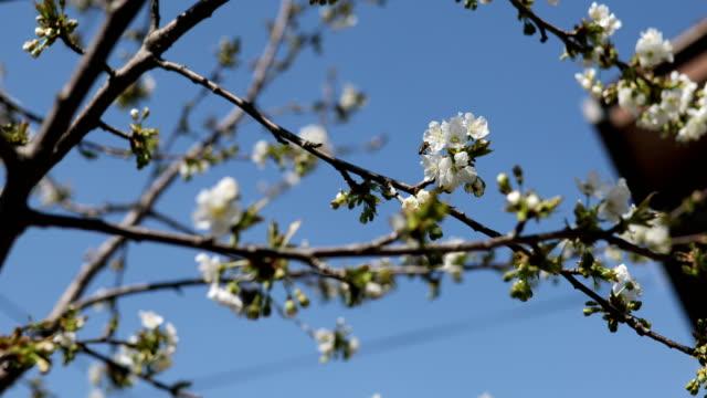 vita blommor på träd på våren - äppelblom bildbanksvideor och videomaterial från bakom kulisserna