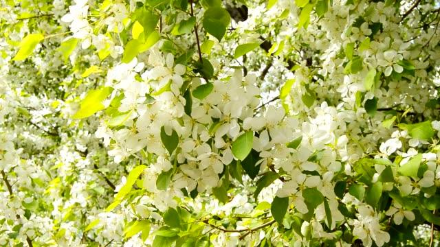 vit blommande apple grenar på våren med en lätt vind. närbild av en kvist som rör sig. apple träd gren i blom på våren på en solig dag - lucia bildbanksvideor och videomaterial från bakom kulisserna