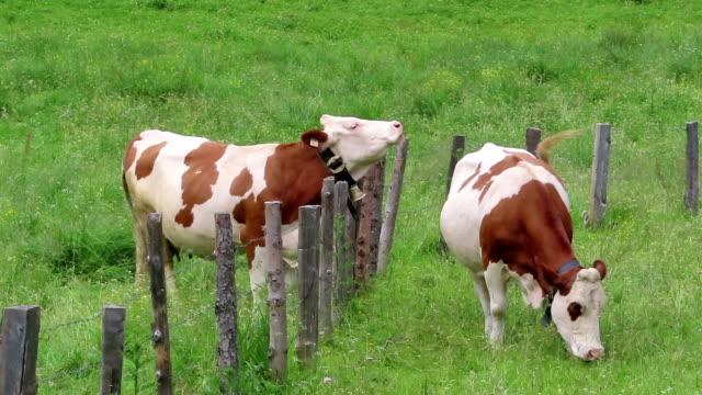 vídeos de stock, filmes e b-roll de vacas marrons brancas em um prado em alpes austríacos vale de zillertal. pastoreio. - tyrol state austria