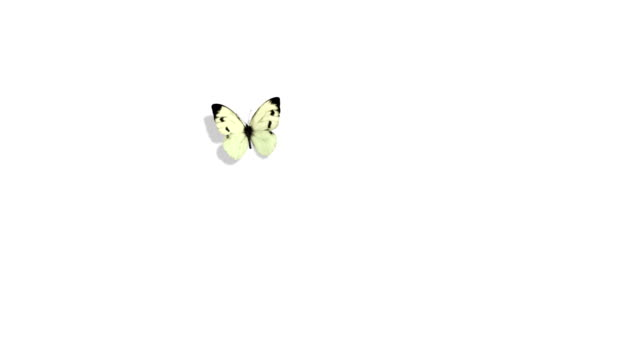 white butterfly cabbage flying on a blue background - butterfly stock videos & royalty-free footage
