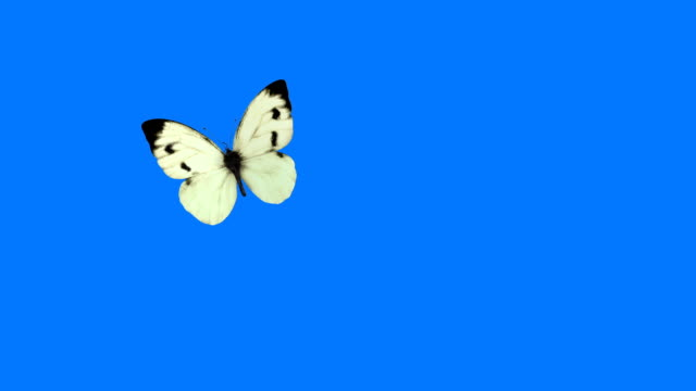 white butterfly cabbage flying on a blue backgroundobal illumination. full hd - butterfly stock videos and b-roll footage