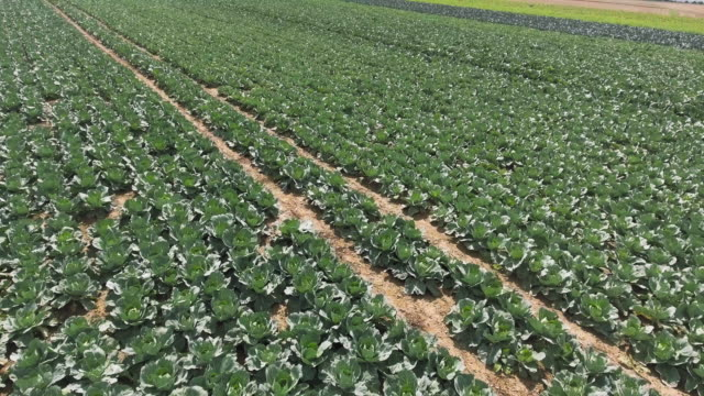 White Cabbage Field In Summer Flyover Aerial flyover shot made from drone point of view. 4K/Ultra High Definition cabbage stock videos & royalty-free footage