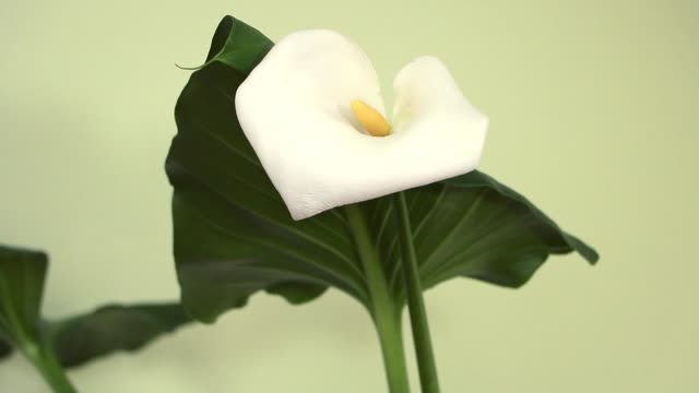 White calla -Zantedeschia aethiopica in beautiful bloom
