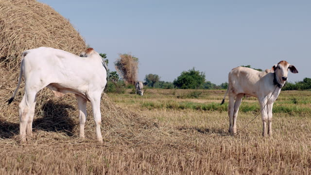 white calves tied up with rope in a field by a pile of hay - giovenca video stock e b–roll