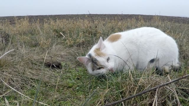 White cat eating a mouse slow motion video