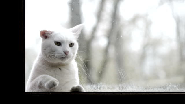White cat looking through a dirty window video